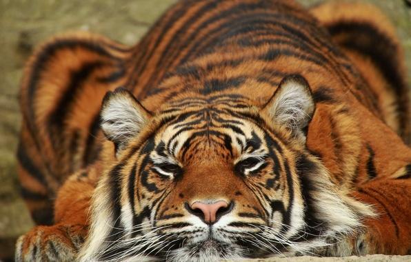 Picture tiger, predator, lies, Sumatra