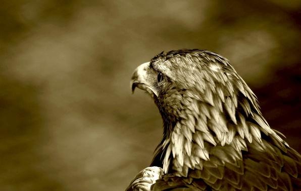 Picture bird, predator, hawk