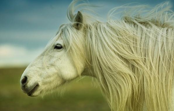 Picture horse, mane, horse