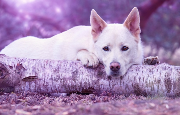 Picture sadness, forest, look, face, pose, background, tree, portrait, dog, paws, lies, white, log, bumps, dog, …