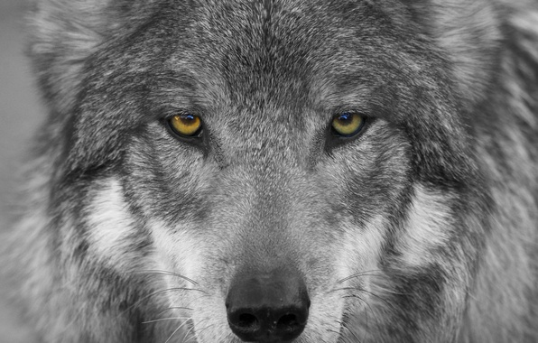 Picture eyes, look, face, wolf, predator