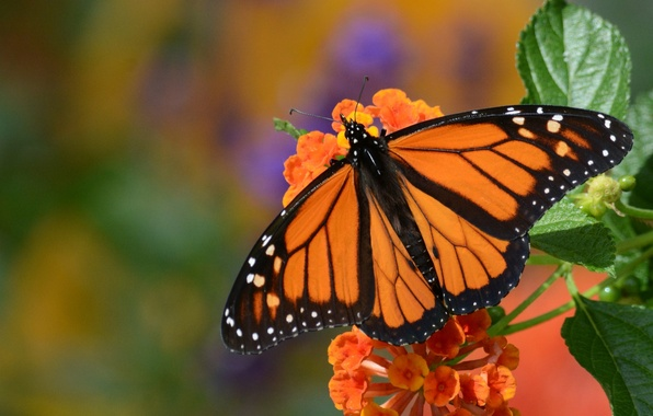 Picture flower, macro, butterfly, monarch, The monarch