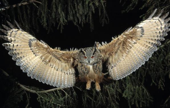 Picture flight, night, owl, wings, Bird
