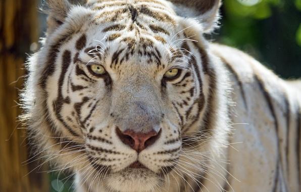 Picture cat, face, white tiger, ©Tambako The Jaguar