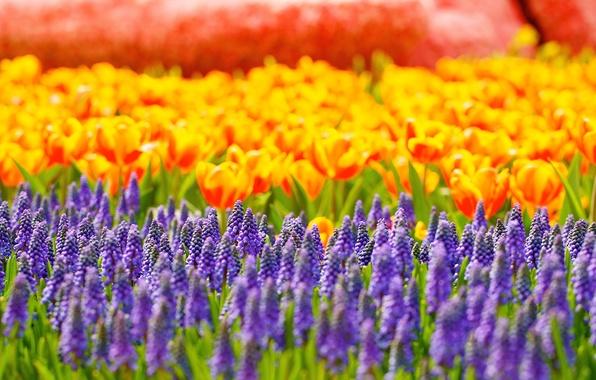 Picture flowers, glare, tulips, Muscari