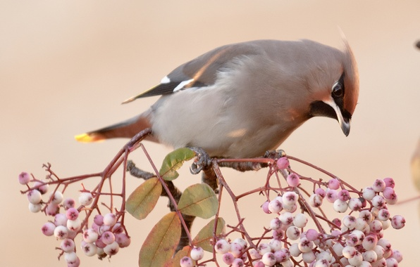 Picture leaves, berries, bird, branch, the Waxwing