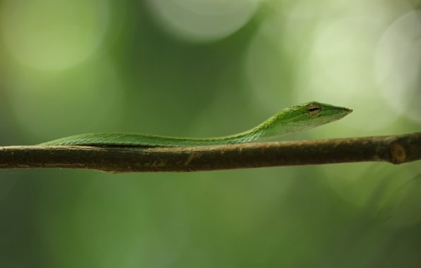 Picture green, black, snake, yellow, eye, branch, vine snake