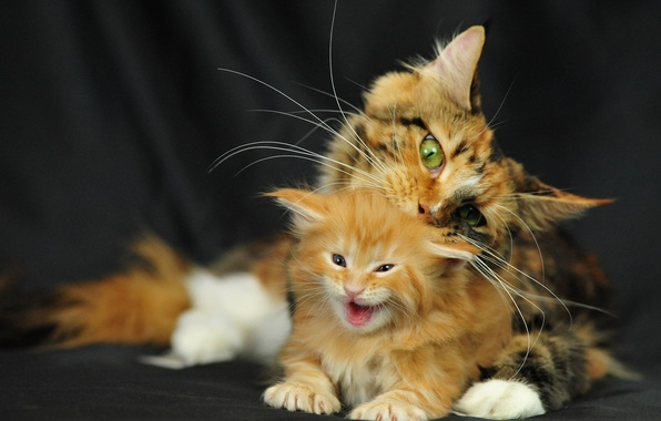Picture cat, kitty, Cats, Maine Coon