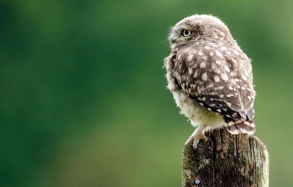 Picture look, background, owl
