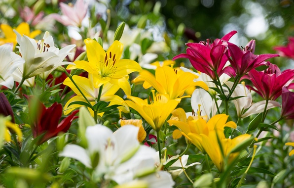 Picture summer, Lily, colorful