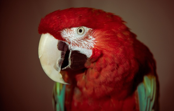 Picture red, eyes, bird, feathers, parrot
