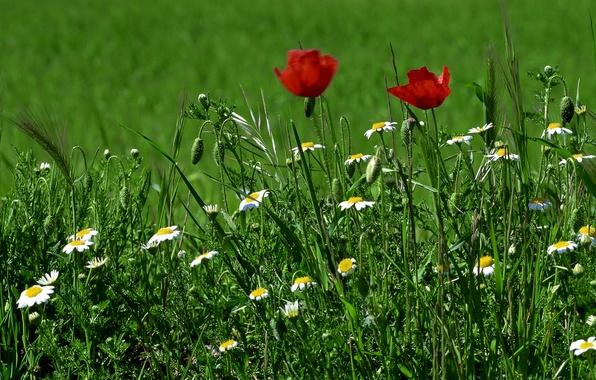 Picture greens, grass, flowers, Maki, chamomile