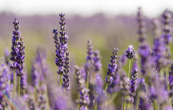 Picture stems, bokeh, lavender, lavender field