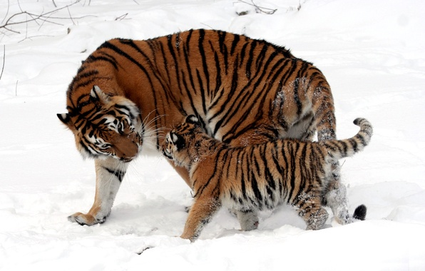Picture winter, snow, strips, cats, wool, baby, fur, color, walk, kitty, tigers, cub, mom, tigress, wild