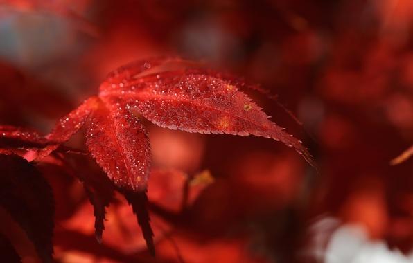 Photo wallpaper leaves, macro, nature, Rosa, red
