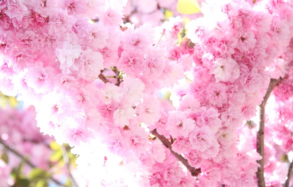 Picture the sun, light, flowers, tree, branch, tenderness, spring, Sakura, pink, flowering