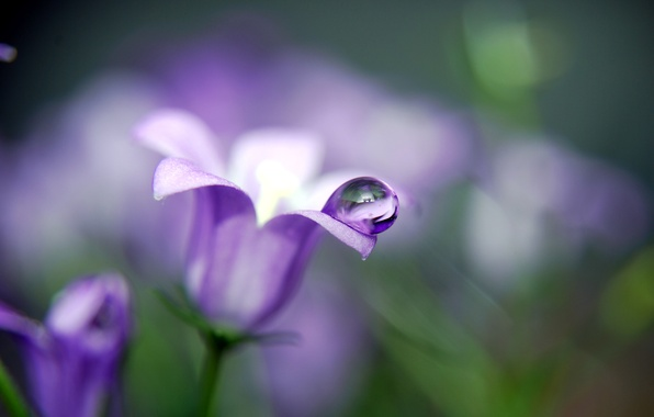 Picture flower, drops, macro, nature, drop, plants, bell