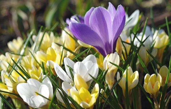 Photo wallpaper saffron, macro, crocuses, spring