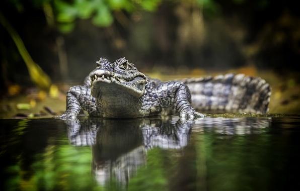 Picture animal, crocodile, australia, reptile