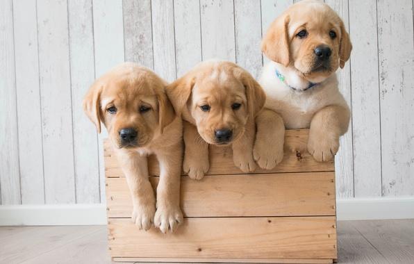 Picture dogs, puppies, box, trio, Golden Retriever, Golden Retriever, Trinity
