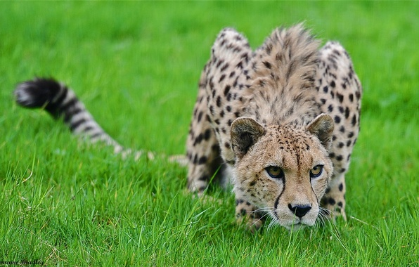 Picture grass, predator, Cheetah, sneaks