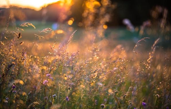 Picture summer, grass, sunset, flowers, spikelets