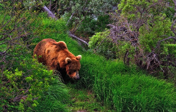 Picture forest, summer, grass, bear, the bushes, brown