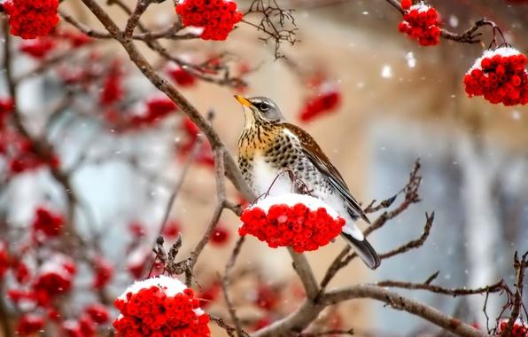 Picture winter, snow, berries, bird, branch, Rowan