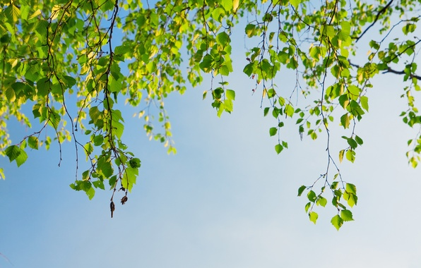 Picture leaves, branches, tree, spring, birch