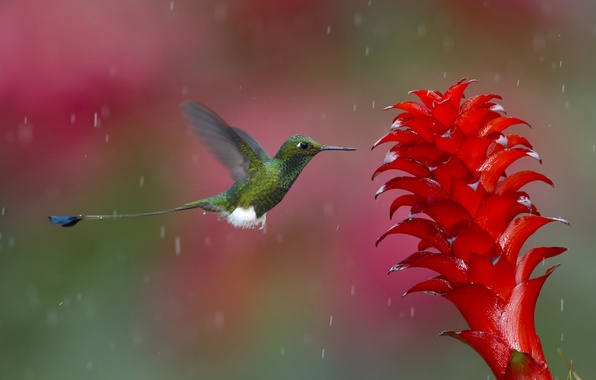 Picture white, flower, color, drops, nature, green, photo, rain, bird, water, Hummingbird, the time, coral