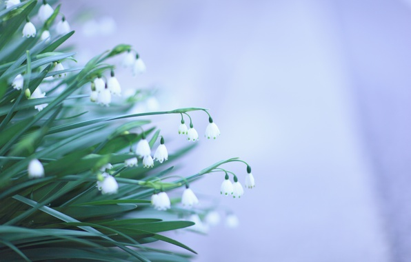 Picture leaves, flowers, background, spring, green, snowdrops, white