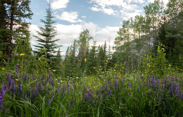 Picture forest, grass, trees, flowers, mountains, rocks, glade, chamomile, Canada, Alberta, buttercups, Lupin