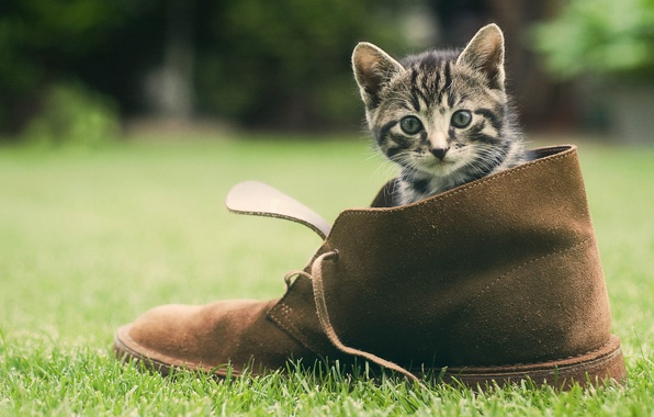 Picture greens, grass, cat, shoes, kitty, face
