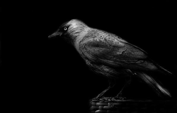 Picture beak, crow, black background