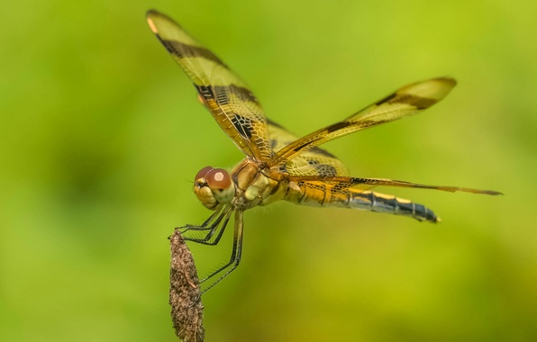 Picture nature, wings, dragonfly, insect