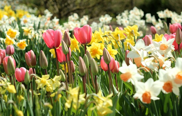 Photo wallpaper spring, tulips, buds, daffodils