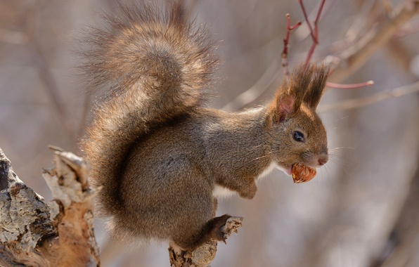 Picture Japan, Hokkaido, tail, rodent, red squirrel