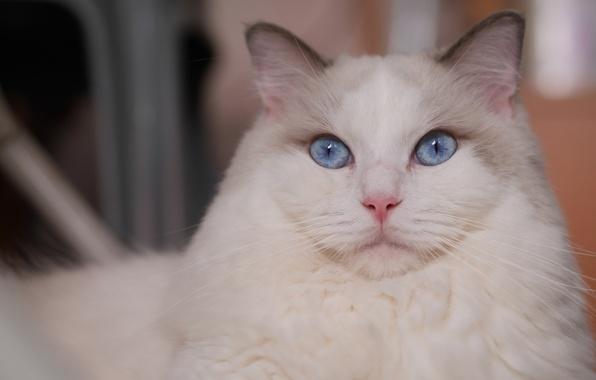 Picture cat, look, portrait, muzzle, blue eyes, krasava, Ragdoll