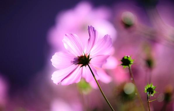 Picture flower, macro, light, background, buds, kosmeya