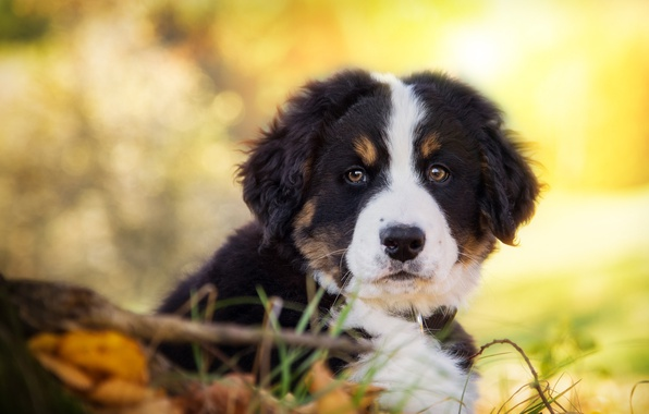 Picture look, dog, puppy, face, Bernese mountain dog