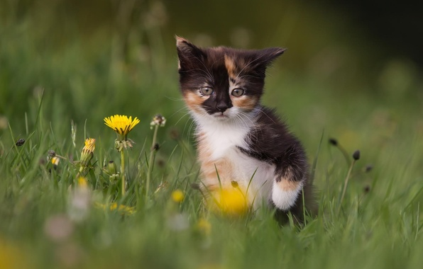 Picture cat, grass, flowers, nature, kitty, dandelions