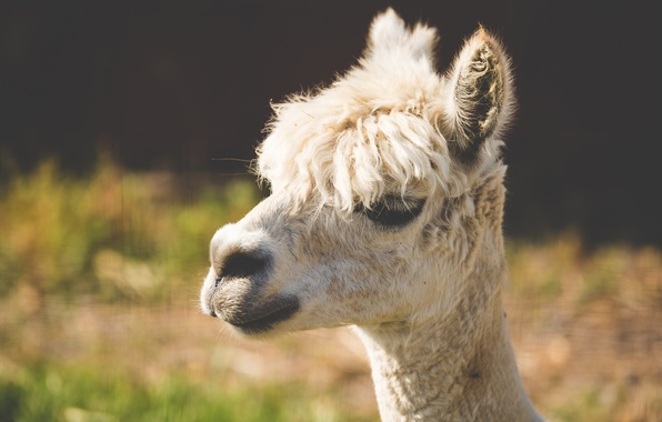 Picture animal, wool, white, Lama