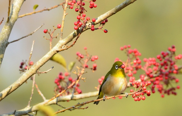 Picture branches, berries, tree, bird, red, tail