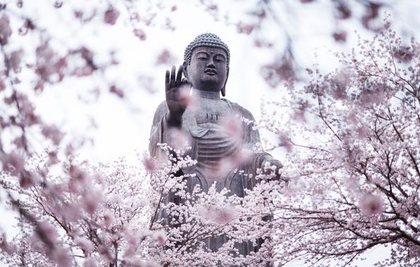 Picture cherry blossoms, statue, Buddha, religion
