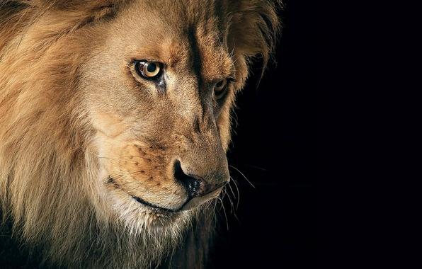Picture cat, look, predator, Leo, mane, the king of beasts, beast