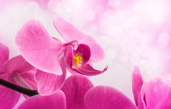 Picture flower, background, petals, stem, pink, Orchid