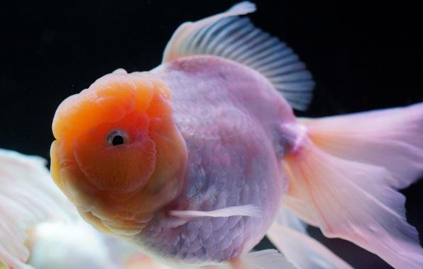 Picture aquarium, fish, white, gold, thick