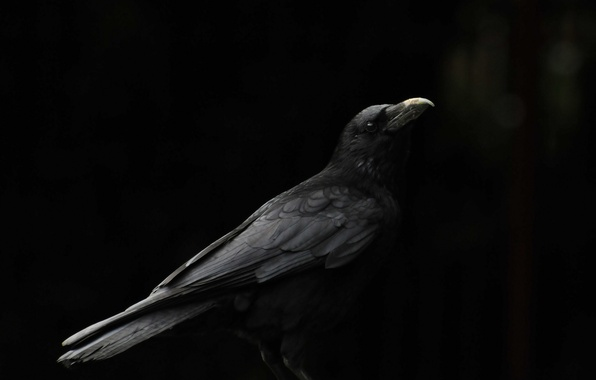 Picture background, bird, beak, Raven