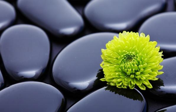 Picture flower, stones, harmony, chrysanthemum