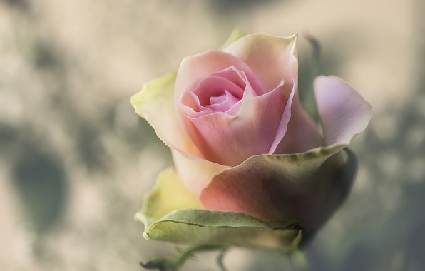 Picture macro, background, rose, Bud
